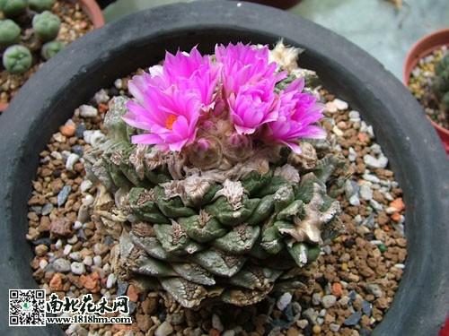龟甲牡丹种植方法