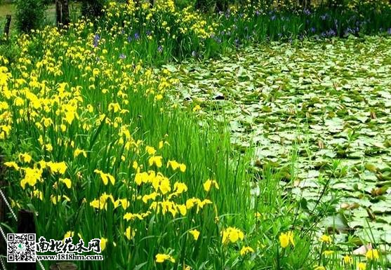 很多人在设计室外景观的时候,把黄菖蒲设计种植在湖畔或者池边,展示出
