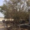 鸡爪槭|鸡爪槭优质苗供应