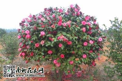 茶花种植技术 茶花繁殖方法