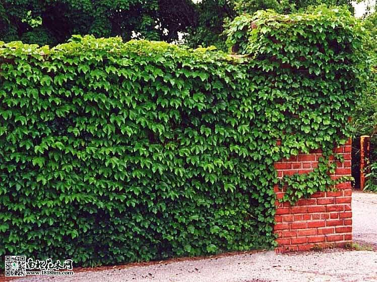 最适宜爬墙的植物|爬山虎|爬墙梅