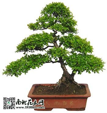 盆栽龟甲冬青的繁殖方法        宜在梅雨季节采取嫩枝