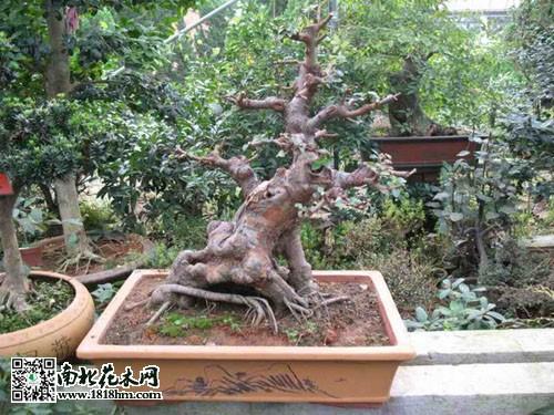 榆树盆景如何修剪|榆树图片