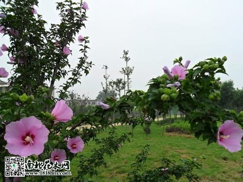 为一体的高价值园林木本植物.木槿花颜色鲜艳美丽,在花期时满树开