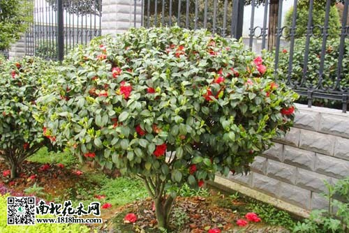 盆栽花卉的叶片发黄的原因|夏季防止茶花球旱黄