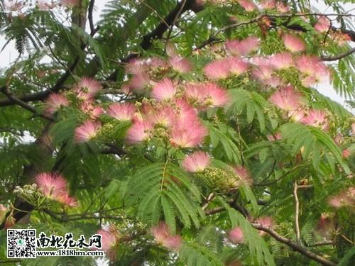 合欢花的幼叶可以用来吃,如果叶子老了也可以用来洗衣服.图片