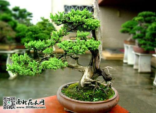 盆景 盆栽 植物 500_364图片
