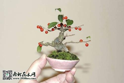 盆栽盆景的历史起源 日本盆栽盆景艺术赏析_花卉常识