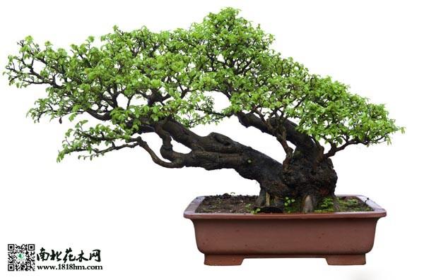 家庭盆栽铁树图片