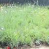 地被石竹价格|石竹供应