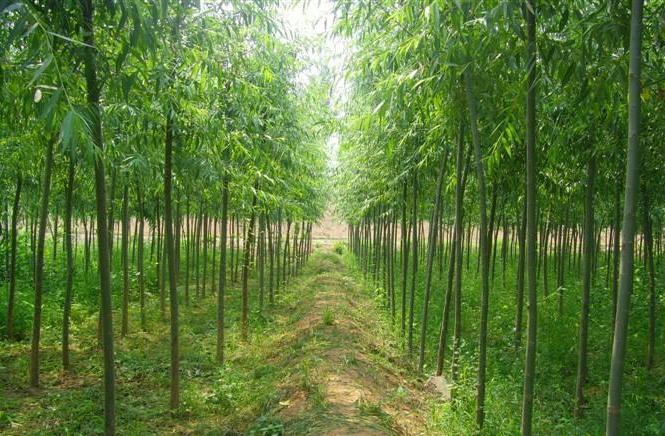 草地上栽植;亦可作行道树