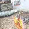 银叶菊苗 盆栽 雪叶菊 净化空气 美观 绿化专用