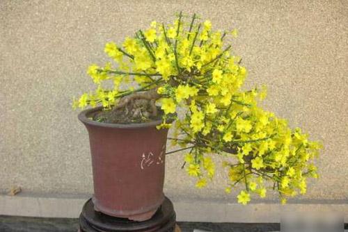 迎春花盆景制作方法