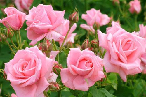 黑玫瑰:你是恶魔,且为我所有;高贵,神秘你是我的女神,无可替代的优雅