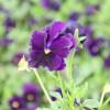 三色堇种植  三色堇沭阳价格