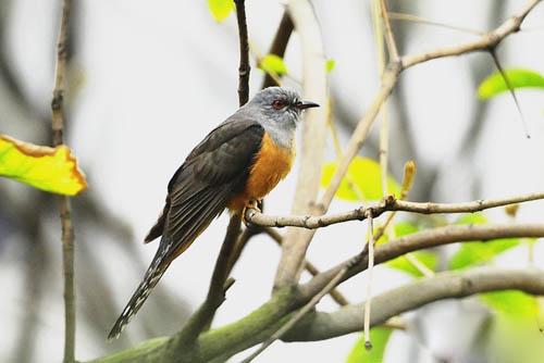 杜鹃鸟图片