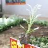 银叶菊种植  销售银叶菊
