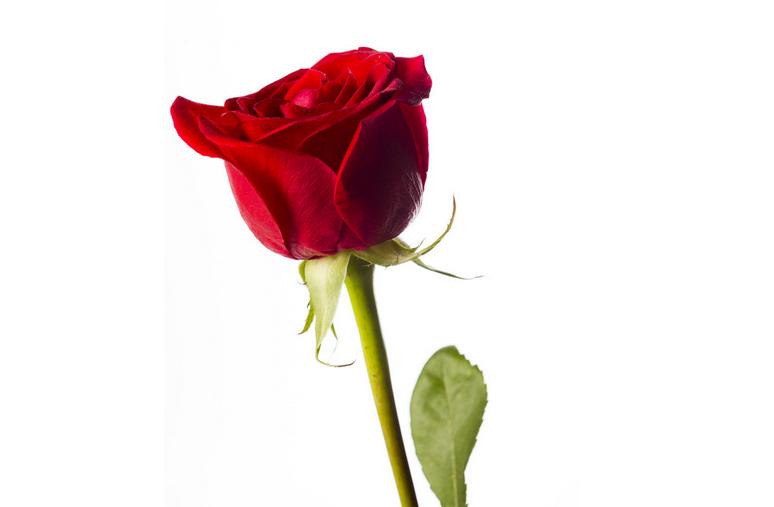 玫瑰花种植方法介绍