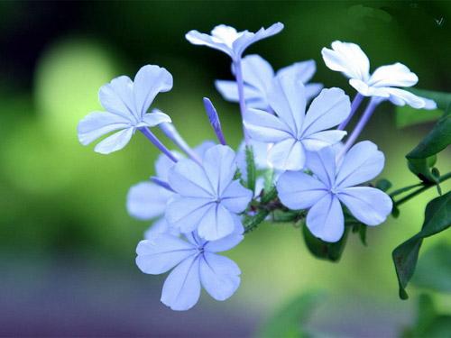 """紫丁香代表清纯的""""初恋"""";野生的丁香表露""""谦逊"""";红"""