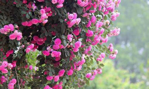 电脑植物高清壁纸蔷薇