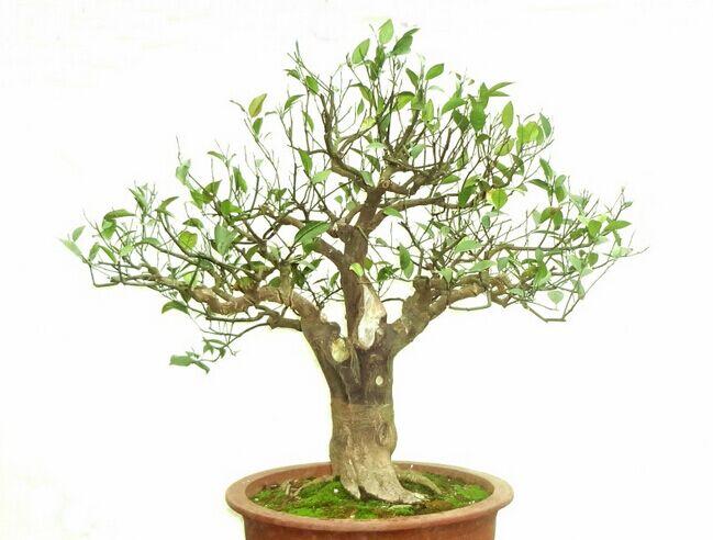 盆景植物名字及图片介绍