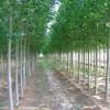 毛白杨、国槐/白腊、107、速生柳、垂柳、椿树、黄金槐