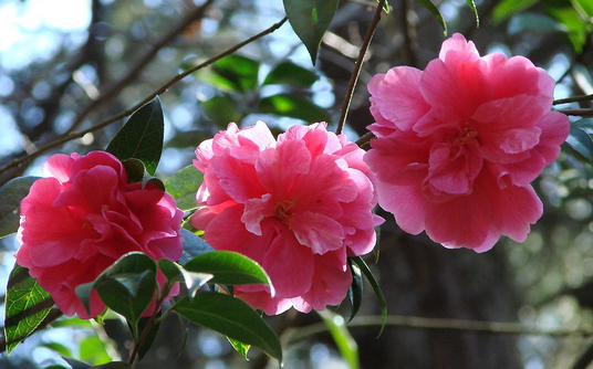 山茶花的作用及花语|山茶花图片