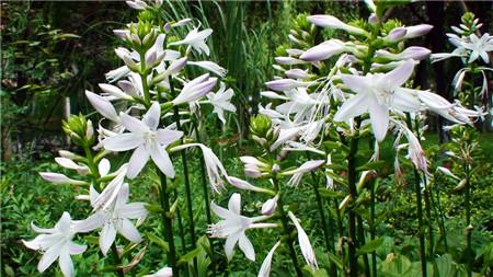 玉簪花花语