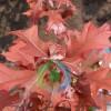 沼生栎美国红橡树红栎系列沼生栎价格优惠,质量上乘