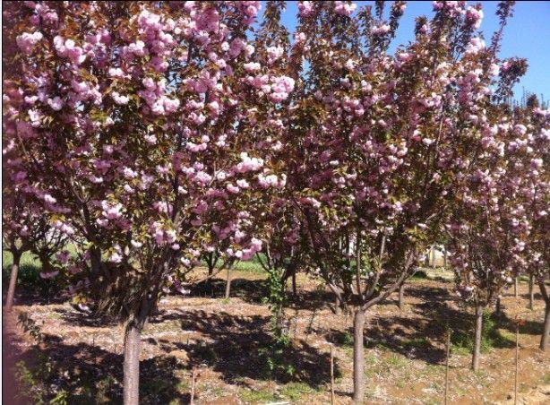 樱花树价格