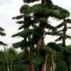 优质小叶女贞造型树古桩、赤楠树、榆树、造型红继木 杨梅树