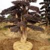 造型红继木 造型小叶女贞 造型椤木石楠  造型榆树 造型赤楠
