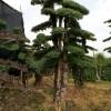 湖南精品造型小叶女贞  造型红花继木 造型榆树 造型罗汉松