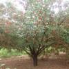 怀来八棱海棠树