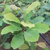 日本厚朴青岛抬头园林精品厚朴树苗