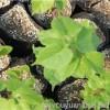 欧洲小叶椴青岛抬头园林荣誉产品