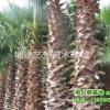 大量供应老人葵 华棕 华盛顿棕榈 椰子杆高1-6米