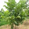 核桃苗\3-10公分核桃树/品种核桃苗,核桃树,早实核桃苗