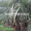 大量供应布迪椰子 冻子椰子