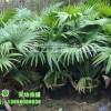 大量供应蒲葵 美丽针葵 狐尾椰子