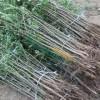 皂角,皂荚苗,大刺皂角苗,文冠果,文冠果苗,楸树,楸树苗
