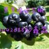 黑果腺肋花楸生态特点