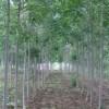 白蜡,国槐,火炬,皂角,黄杨,油松,核桃树