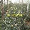 供应玫瑰嫁接苗老桩多年生切花月季苗绿化工程苗盆栽花卉卡罗拉