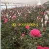 供应优质月季苗老桩1至3年生月季花苗批发绿化用盆栽用占地用苗