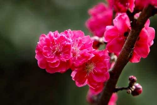 梅花的栽培与繁殖管理技术