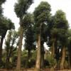 香樟树 香樟价格 香樟苗圃
