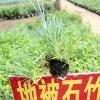 地被石竹 供应优质石竹