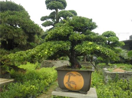乔木盆景鸭掌木