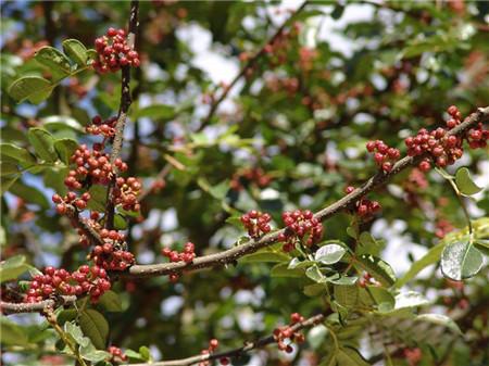 花椒树修剪的方法 花椒树图片
